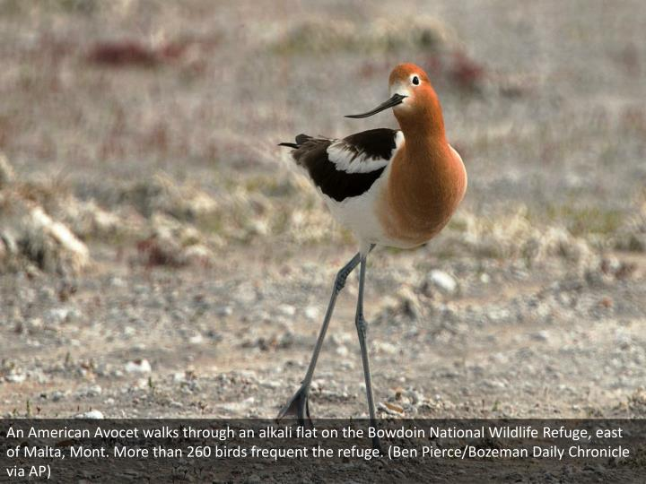 An American Avocet walks through an alkali flat on the Bowdoin National Wildlife Refuge, east of Malta, Mont. More than 260 birds frequent the refuge. (Ben Pierce/Bozeman Daily Chronicle via AP)