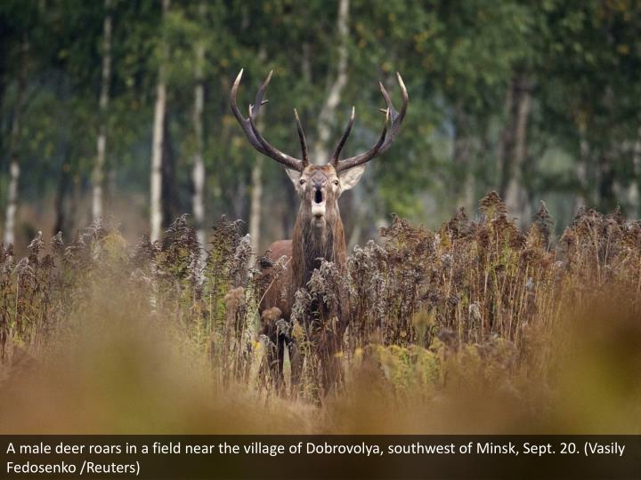 A male deer roars in a field near the village of Dobrovolya, southwest of Minsk, Sept. 20. (Vasily Fedosenko /Reuters)