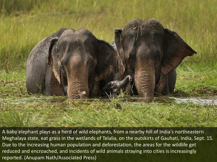 A baby elephant plays as a herd of wild elephants, from a nearby hill of India's northeastern Meghalaya state, eat grass in the wetlands of Telalia, on the outskirts of Gauhati, India, Sept. 15. Due to the increasing human population and deforestation, the areas for the wildlife get reduced and encroached, and incidents of wild animals straying into cities is increasingly reported. (Anupam Nath/Associated Press)