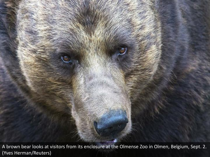 A brown bear looks at visitors from its enclosure at the Olmense Zoo in Olmen, Belgium, Sept. 2. (Yves Herman/Reuters)