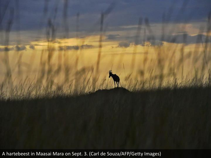 A hartebeest in Maasai Mara on Sept. 3. (Carl de Souza/AFP/Getty Images)