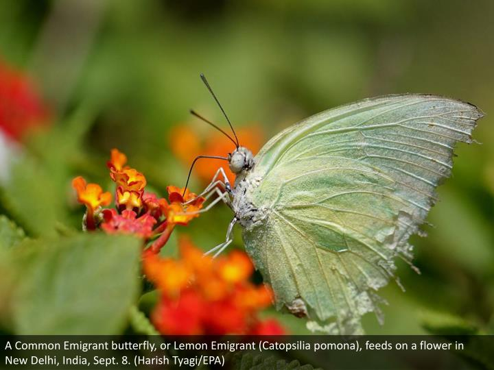 A Common Emigrant butterfly, or Lemon Emigrant (Catopsilia pomona), feeds on a flower in New Delhi, India, Sept. 8. (Harish Tyagi/EPA)