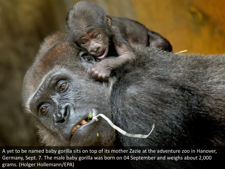 A yet to be named baby gorilla sits on top of its mother Zazie at the adventure zoo in Hanover, Germany, Sept. 7. The male baby gorilla was born on 04 September and weighs about 2,000 grams. (Holger Hollemann/EPA)