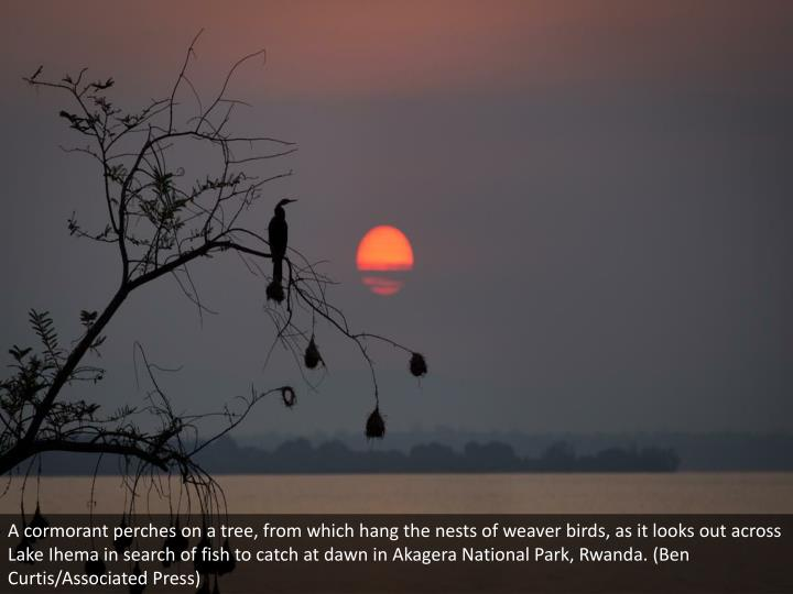 A cormorant perches on a tree, from which hang the nests of weaver birds, as it looks out across Lake Ihema in search of fish to catch at dawn in Akagera National Park, Rwanda. (Ben Curtis/Associated Press)