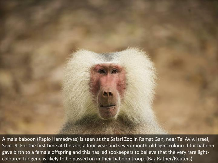 A male baboon (Papio Hamadryas) is seen at the Safari Zoo in Ramat Gan, near Tel Aviv, Israel, Sept. 9. For the first time at the zoo, a four-year and seven-month-old light-coloured fur baboon gave birth to a female offspring and this has led zookeepers to believe that the very rare light-coloured fur gene is likely to be passed on in their baboon troop. (Baz Ratner/Reuters)
