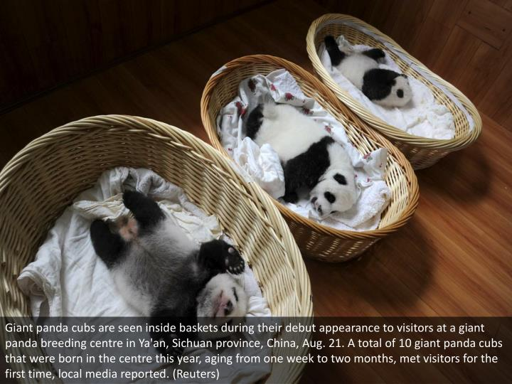 Giant panda cubs are seen inside baskets during their debut appearance to visitors at a giant panda breeding centre in Ya'an, Sichuan province, China, Aug. 21. A total of 10 giant panda cubs that were born in the centre this year, aging from one week to two months, met visitors for the first time, local media reported. (Reuters)
