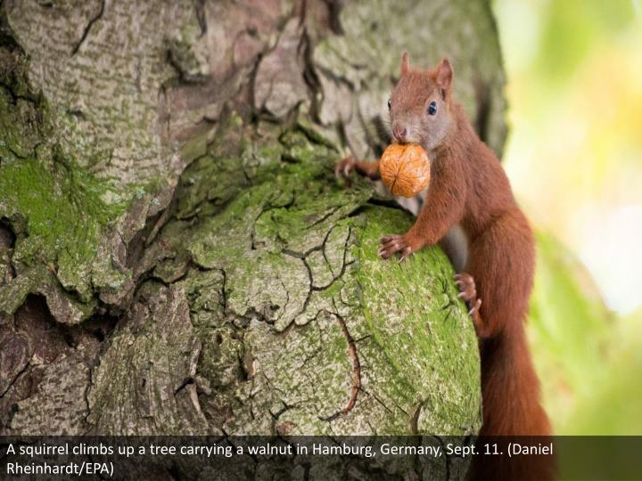 A squirrel climbs up a tree carrying a walnut in Hamburg, Germany, Sept. 11. (Daniel Rheinhardt/EPA)