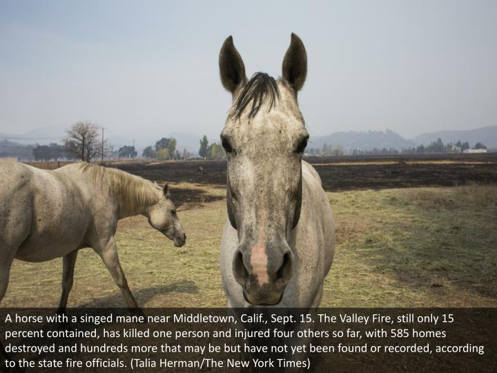 A horse with a singed mane near Middletown, Calif., Sept. 15. The Valley Fire, still only 15 percent contained, has killed one person and injured four others so far, with 585 homes destroyed and hundreds more that may be but have not yet been found or recorded, according to the state fire officials. (Talia Herman/The New York Times)
