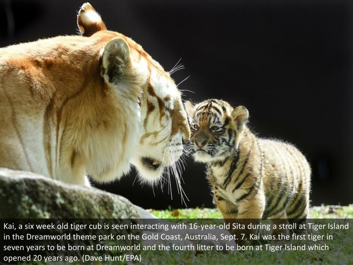 Kai, a six week old tiger cub is seen interacting with 16-year-old Sita during a stroll at Tiger Island in the Dreamworld theme park on the Gold Coast, Australia, Sept. 7. Kai was the first tiger in seven years to be born at Dreamworld and the fourth litter to be born at Tiger Island which opened 20 years ago. (Dave Hunt/EPA)