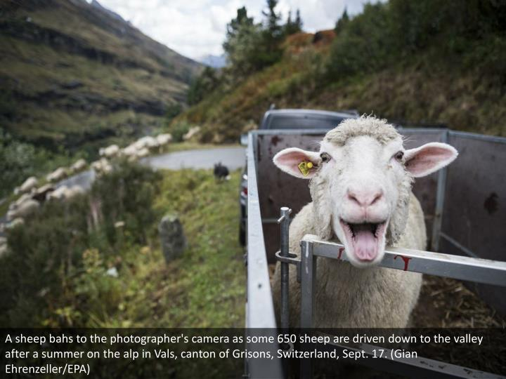 A sheep bahs to the photographer's camera as some 650 sheep are driven down to the valley after a summer on the alp in Vals, canton of Grisons, Switzerland, Sept. 17. (Gian Ehrenzeller/EPA)