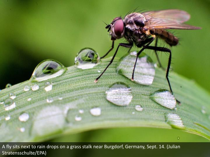 A fly sits next to rain drops on a grass stalk near Burgdorf, Germany, Sept. 14. (Julian Stratensschulte/EPA)