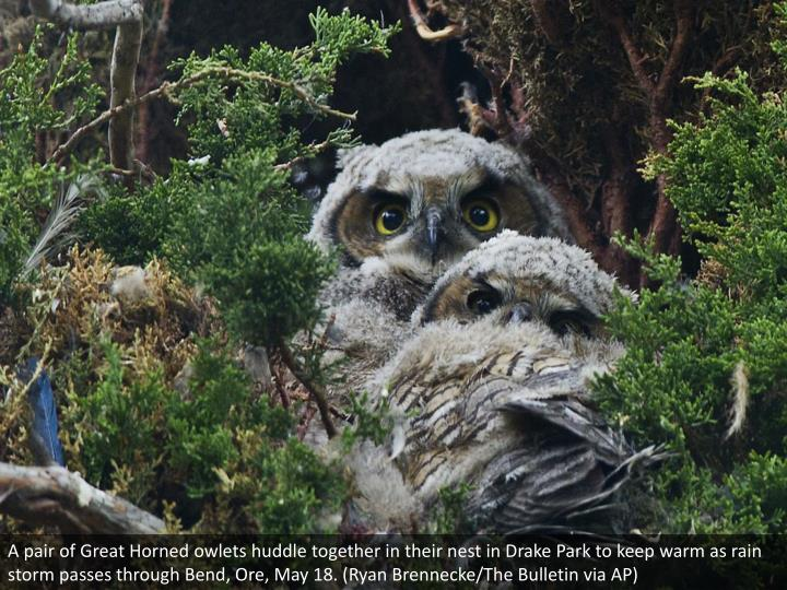 A pair of Great Horned owlets huddle together in their nest in Drake Park to keep warm as rain storm passes through Bend, Ore, May 18. (Ryan Brennecke/The Bulletin via AP)