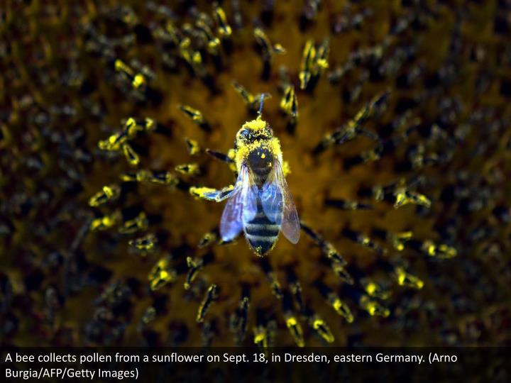 A bee collects pollen from a sunflower on Sept. 18, in Dresden, eastern Germany. (Arno Burgia/AFP/Getty Images)