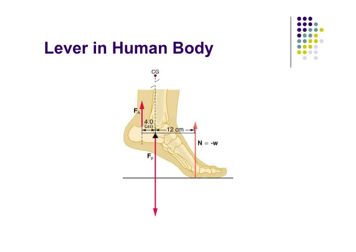 Lever in Human Body