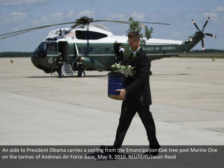 An aide to President Obama carries a sapling from the Emancipation Oak tree past Marine One on the tarmac of Andrews Air Force Base, May 9, 2010. REUTERS/Jason Reed