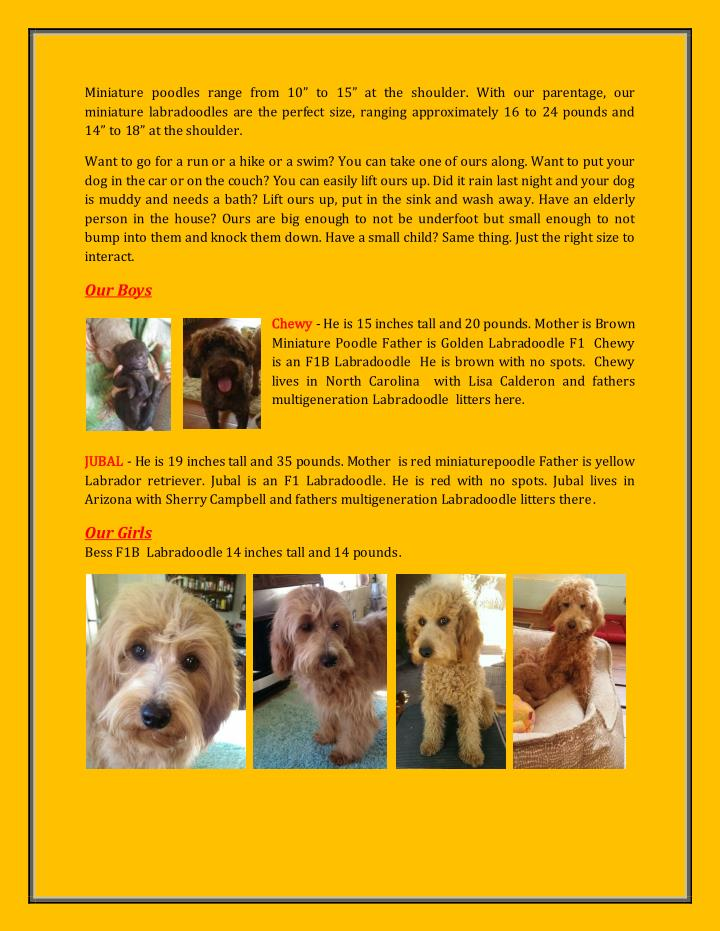 """Miniature poodles range from 10"""" to 15"""" at the shoulder. With our parentage, our"""