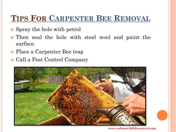 Ppt How To Get Rid Of Carpenter Bees Powerpoint