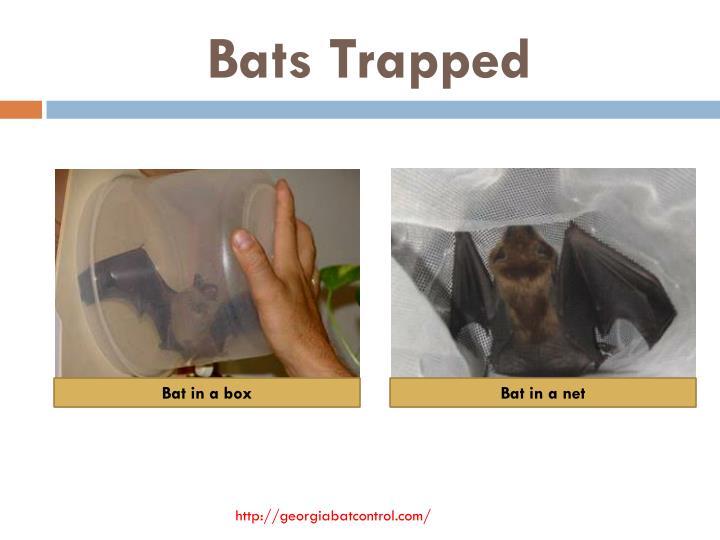 Bats Trapped