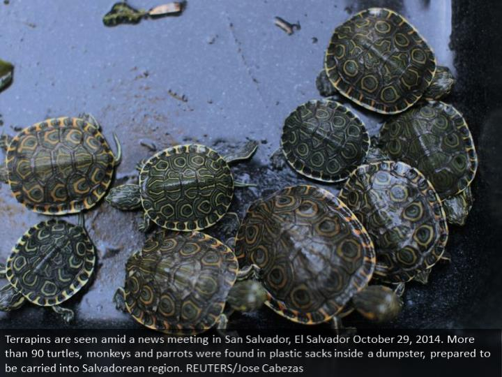 Terrapins are seen during a news conference in San Salvador, El Salvador October 29, 2014. More than 90 turtles, monkeys and parrots were found in plastic bags inside a dumpster, ready to be smuggled into Salvadorean territory. REUTERS/Jose Cabezas