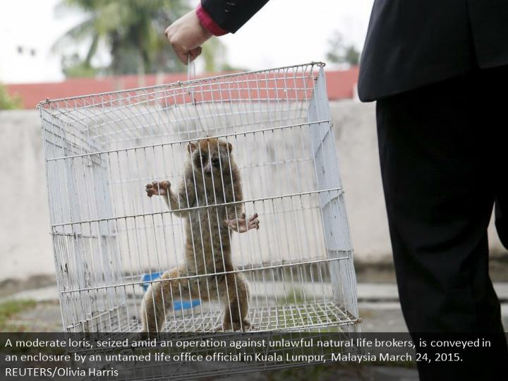 A slow loris, seized during an operation against illegal wildlife traders, is carried in a cage by a wildlife department official in Kuala Lumpur, Malaysia March 24, 2015. REUTERS/Olivia Harris