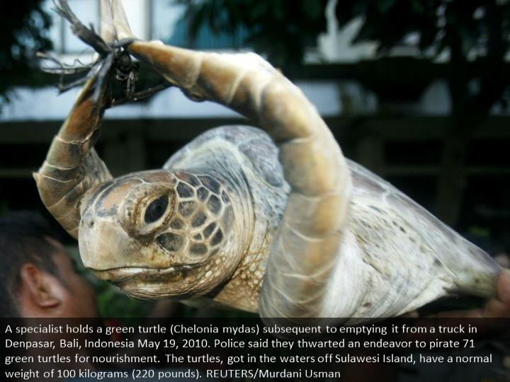 A worker holds a green turtle (Chelonia mydas) after unloading it from a truck in Denpasar, Bali, Indonesia May 19, 2010. Police said they foiled an attempt to smuggle 71 green turtles for food. The turtles, caught in the waters off Sulawesi Island, have an average weight of 100 kilograms (220 pounds). REUTERS/Murdani Usman