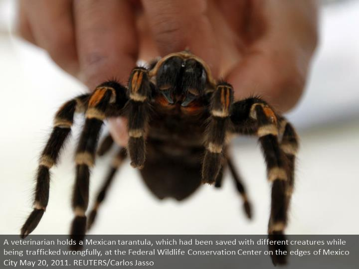 A veterinarian holds a Mexican tarantula, which had been rescued with other animals while being trafficked illegally, at the Federal Wildlife Conservation Center on the outskirts of Mexico City May 20, 2011. REUTERS/Carlos Jasso