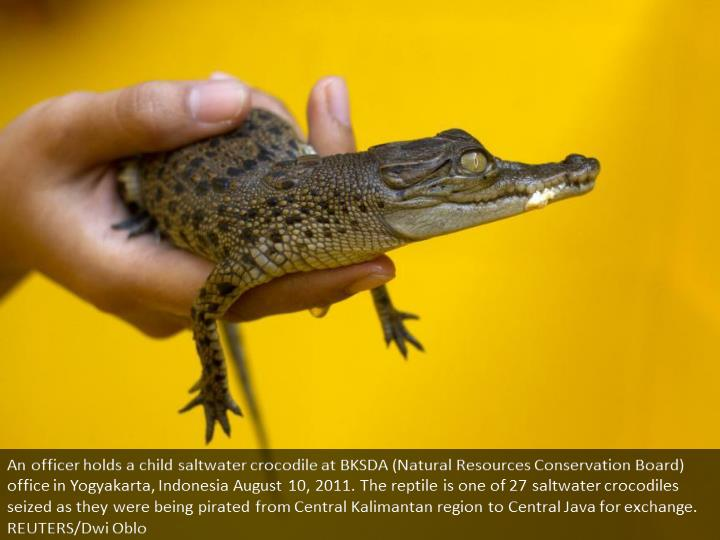 An officer holds a baby saltwater crocodile at BKSDA (Natural Resources Conservation Board) office in Yogyakarta, Indonesia August 10, 2011. The reptile is one of 27 saltwater crocodiles confiscated as they were being smuggled from Central Kalimantan province to Central Java for trade. REUTERS/Dwi Oblo