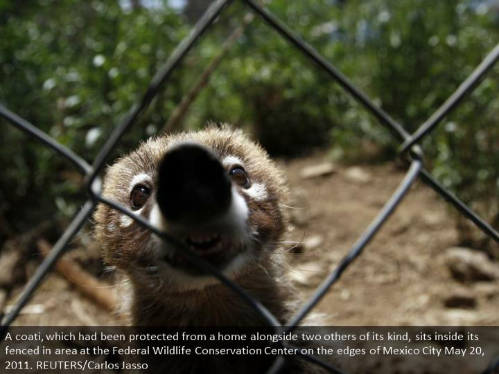 A coati, which had been rescued from a home along with two others of its kind, sits inside its enclosure at the Federal Wildlife Conservation Center on the outskirts of Mexico City May 20, 2011. REUTERS/Carlos Jasso