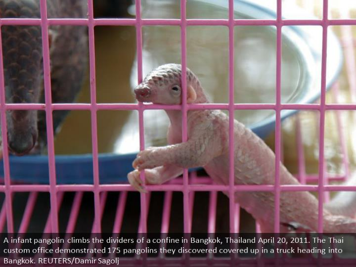 A newborn baby pangolin climbs the walls of a cage in Bangkok, Thailand April 20, 2011. The Thai custom office showed 175 pangolins they found hidden in a truck heading into Bangkok. REUTERS/Damir Sagolj