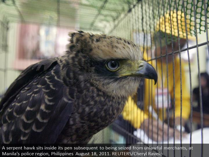 A serpent eagle sits inside its cage after being seized from illegal traders, at Manila's police district, Philippines August 18, 2011. REUTERS/Cheryl Ravelo