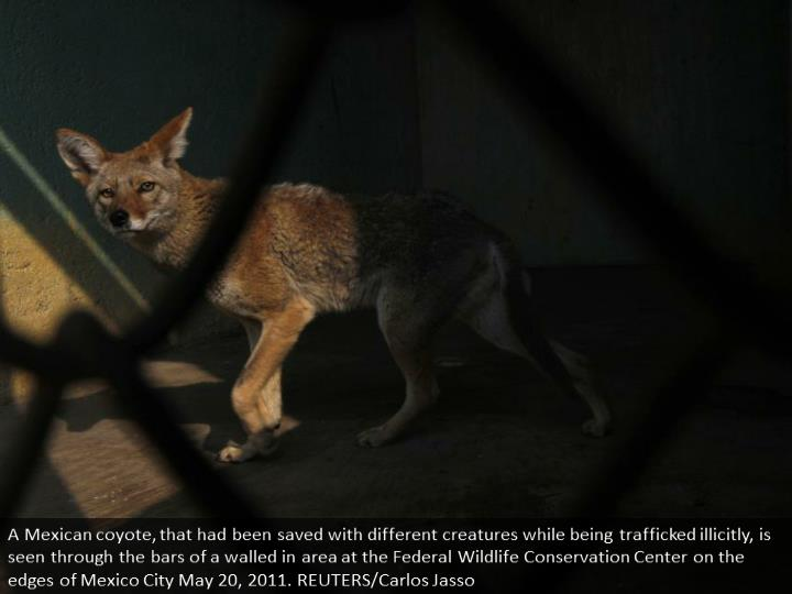 A Mexican coyote, that had been rescued with other animals while being trafficked illegally, is seen through the bars of an enclosure at the Federal Wildlife Conservation Center on the outskirts of Mexico City May 20, 2011. REUTERS/Carlos Jasso