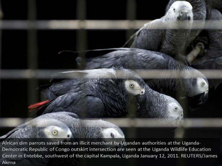 African grey parrots rescued from an illegal trader by Ugandan officials at the Uganda-Democratic Republic of Congo border crossing are seen at the Uganda Wildlife Education Centre in Entebbe, southwest of the capital Kampala, Uganda January 12, 2011. REUTERS/James Akena