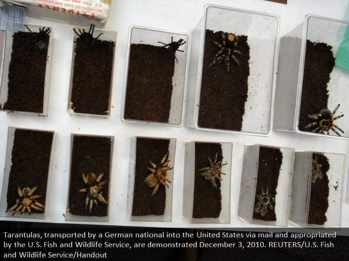 Tarantulas, shipped by a German national into the United States by mail and confiscated by the U.S. Fish and Wildlife Service, are shown December 3, 2010. REUTERS/U.S. Fish and Wildlife Service/Handout