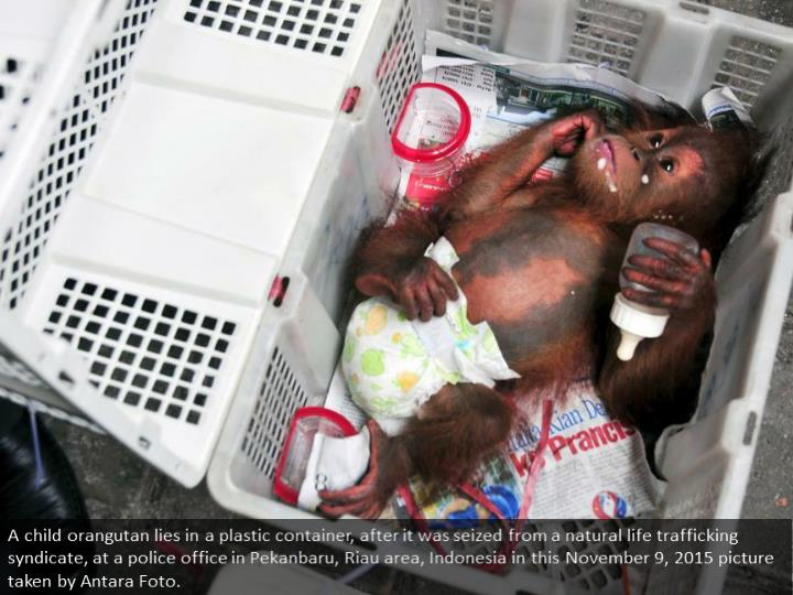 A baby orangutan lies in a plastic crate, after it was seized from a wildlife trafficking syndicate, at a police office in Pekanbaru, Riau province, Indonesia in this November 9, 2015 picture taken by Antara Foto.