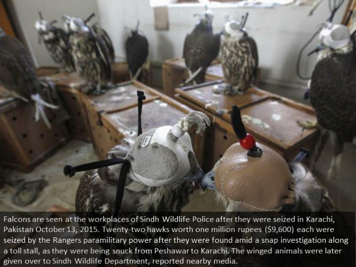 Falcons are seen at the offices of Sindh Wildlife Police after they were seized in Karachi, Pakistan October 13, 2015. Twenty-two falcons worth one million rupees ($9,600) each were seized by the Rangers paramilitary force after they were discovered during a snap inspection along a toll booth, as they were being smuggled from Peshawar to Karachi. The birds were later handed over to Sindh Wildlife Department, reported local media.