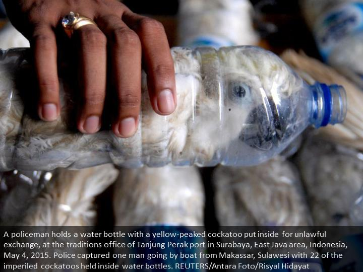A policeman holds a water bottle with a yellow-crested cockatoo put inside for illegal trade, at the customs office of Tanjung Perak port in Surabaya, East Java province, Indonesia, May 4, 2015. Police arrested one man traveling by ship from Makassar, Sulawesi with 22 of the endangered cockatoos held inside water bottles. REUTERS/Antara Foto/Risyal Hidayat
