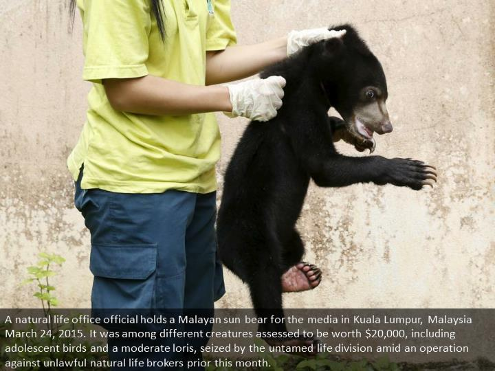 A wildlife department official holds a Malayan sun bear for the media in Kuala Lumpur, Malaysia March 24, 2015. It was among other animals estimated to be worth $20,000, including juvenile eagles and a slow loris, seized by the wildlife department during an operation against illegal wildlife traders earlier this month.