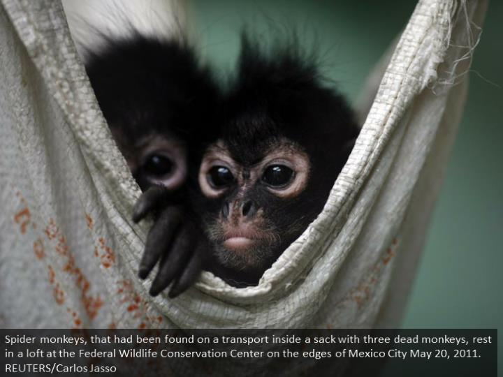Spider monkeys, that had been found on a bus inside a bag with three dead monkeys, rest in a hammock at the Federal Wildlife Conservation Center on the outskirts of Mexico City May 20, 2011. REUTERS/Carlos Jasso