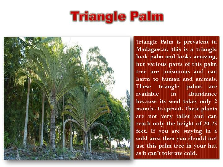 Triangle Palm is prevalent in