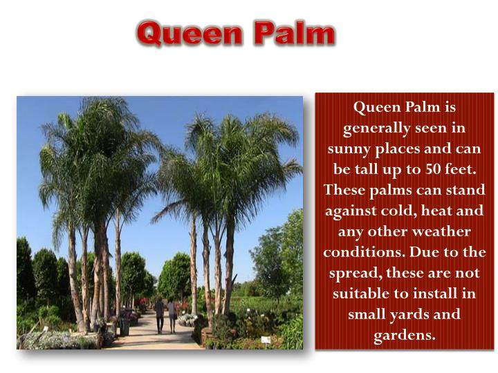 Queen Palm is
