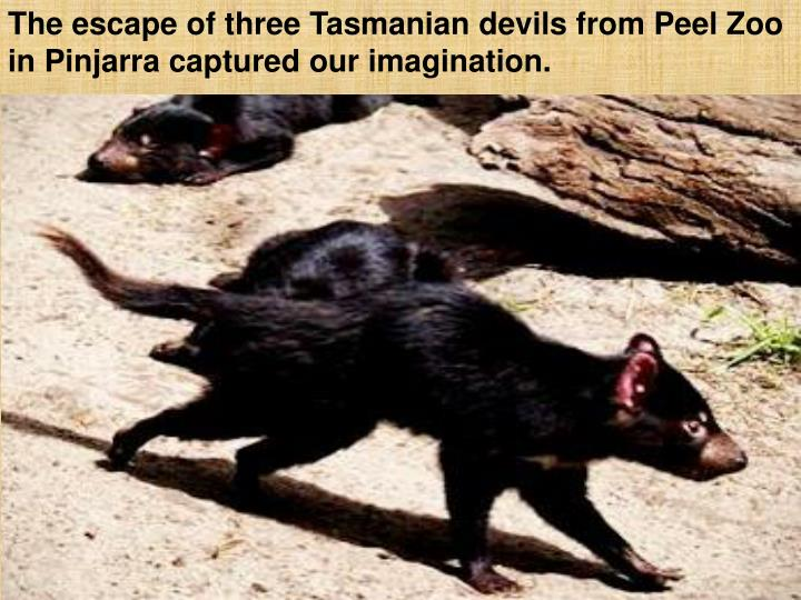 The escape of three Tasmanian devils from Peel Zoo in