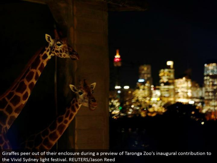 Giraffes peer out of their walled in area amid a sneak peak of Taronga Zoo's inaugural commitment to the Vivid Sydney light celebration. REUTERS/Jason Reed