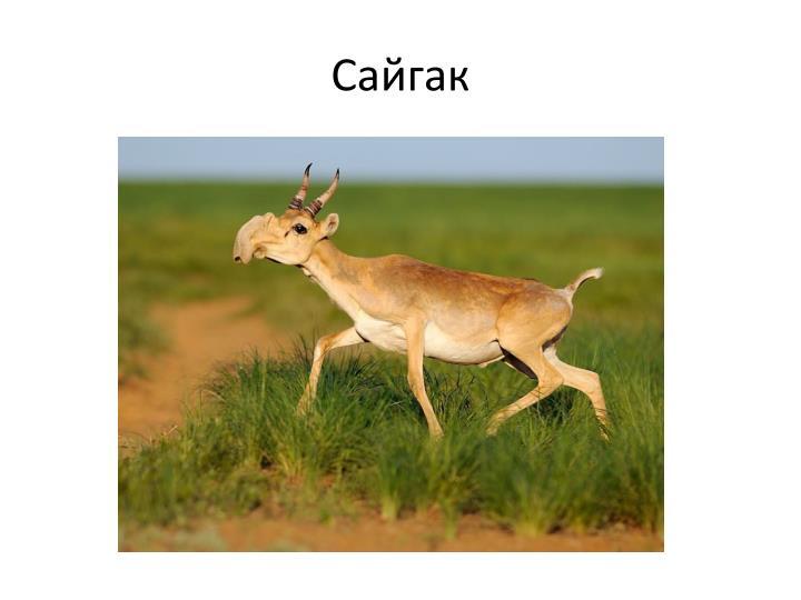Сайгак