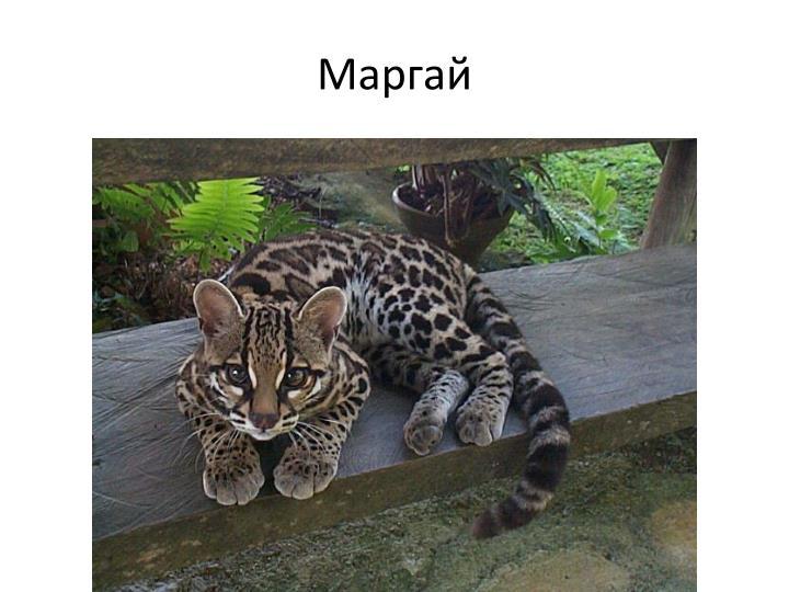 Маргай