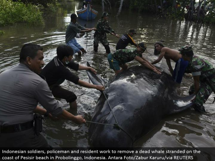 Indonesian troopers, policeman and occupant work to expel a dead whale stranded on the shore of Pesi...