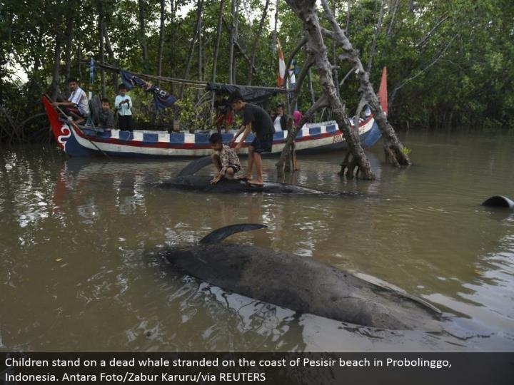 Children stand on a dead whale stranded on the shoreline of Pesisir shoreline in Probolinggo, Indonesia. Antara Foto/Zabur Karuru/by means of REUTERS