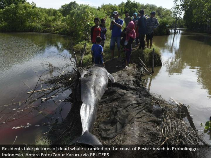 Residents take pictures of dead whale stranded on the shore of Pesisir shoreline in Probolinggo, Indonesia. Antara Foto/Zabur Karuru/through REUTERS
