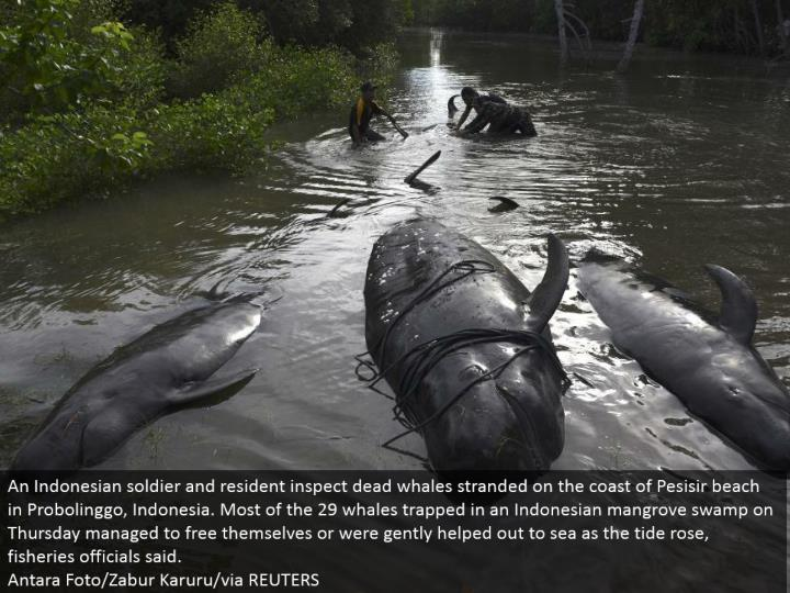 An Indonesian trooper and inhabitant examine dead whales stranded on the shoreline of Pesisir shoreline in Probolinggo, Indonesia. A large portion of the 29 whales caught in an Indonesian mangrove swamp on Thursday figured out how to free themselves or were tenderly assisted to ocean as the tide rose, fisheries authorities said. Antara Foto/Zabur Karuru/through REUTERS