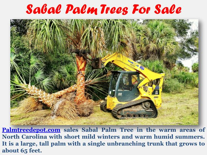 Sabal Palm Trees For Sale
