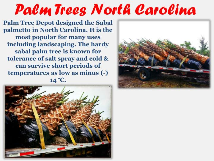 Palm Trees North Carolina